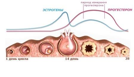 боль в середине менструального цикла: